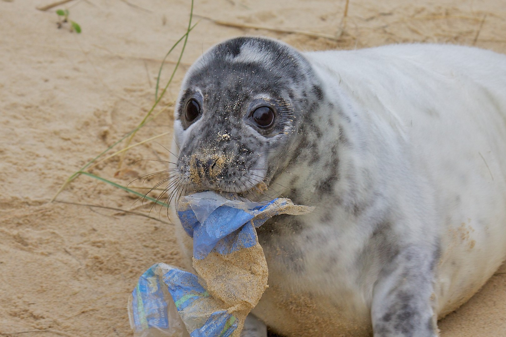 Seal_Grey_pup_rubbish